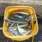2015年の湾奥サヨリ、最近の釣況